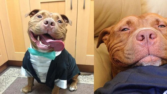 Kesalahan Persepsi Mengenai Anjing Jenis Pitbull
